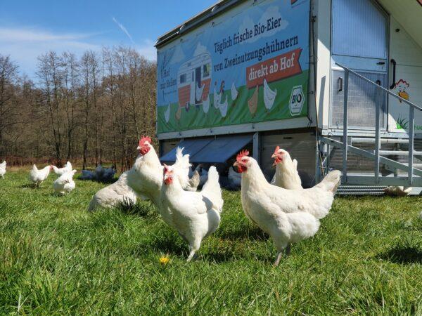 Hühner vor Mobilstall